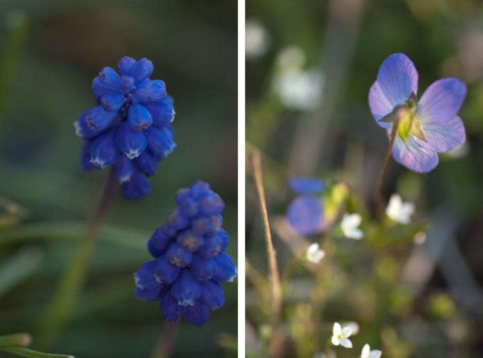 grapehyacinthviolet_